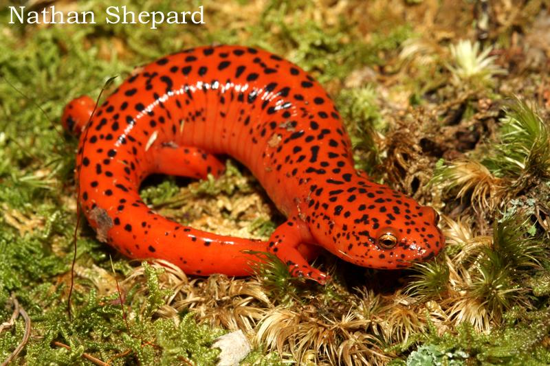 El Universo Bajo el Microscopio: Salamandra Roja
